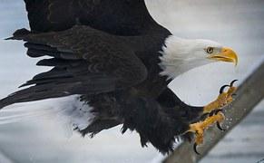 bald-eagle-977811__180