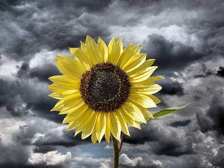 sun-flower-2936869__340