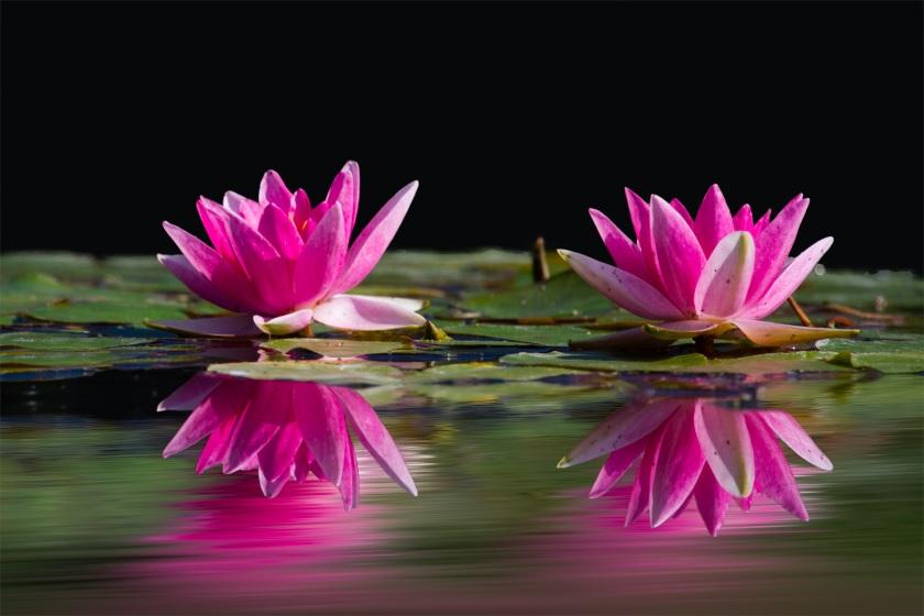 water-lilies-pink-water-lake-46231