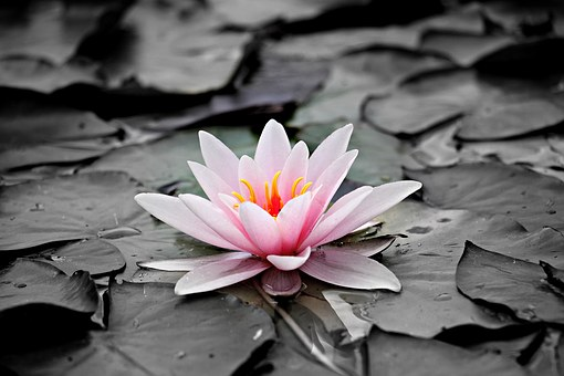 water-lily-1510707__340