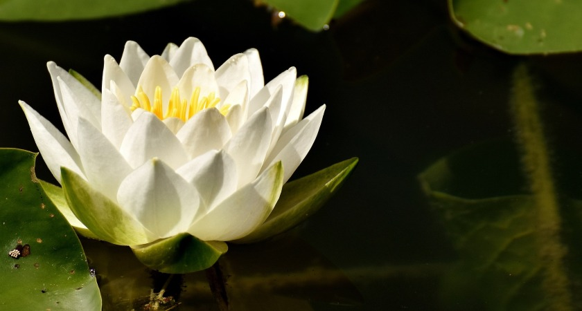 water-lily-3013606_1920